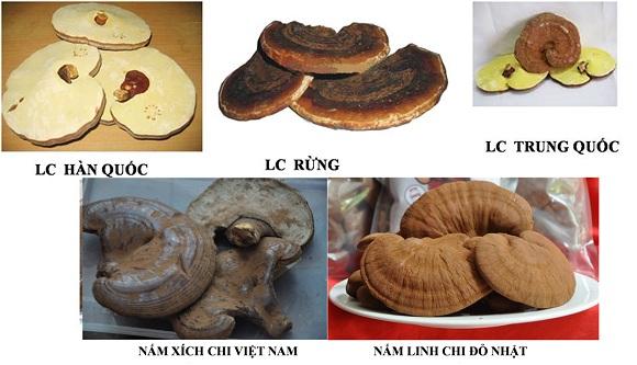 Phân loại nấm linh chi dựa vào nguồn gốc