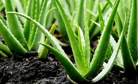 Cây lô hội được trồng nhiều ở Nam Trung Bộ – Việt Nam (2)