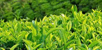 Những lợi ích sức khỏe của trà xanh là gì (1)