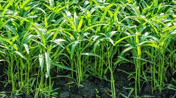 Rau muống là cây thân thảo, mọc bò trên mặt nước hoặc trên cạn (2)