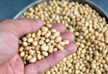 Những lợi ích của hạt đậu nành đối với sức khỏe (1)